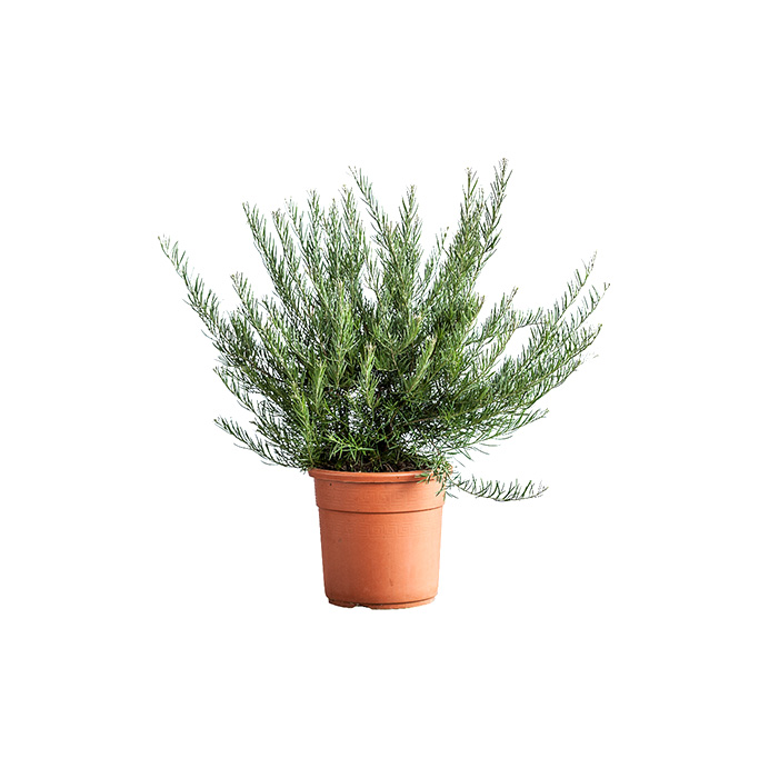 pianta salvia polifilo