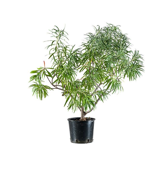 Pianta - planta sapiens